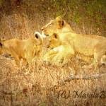 Gir Asiatic Lions