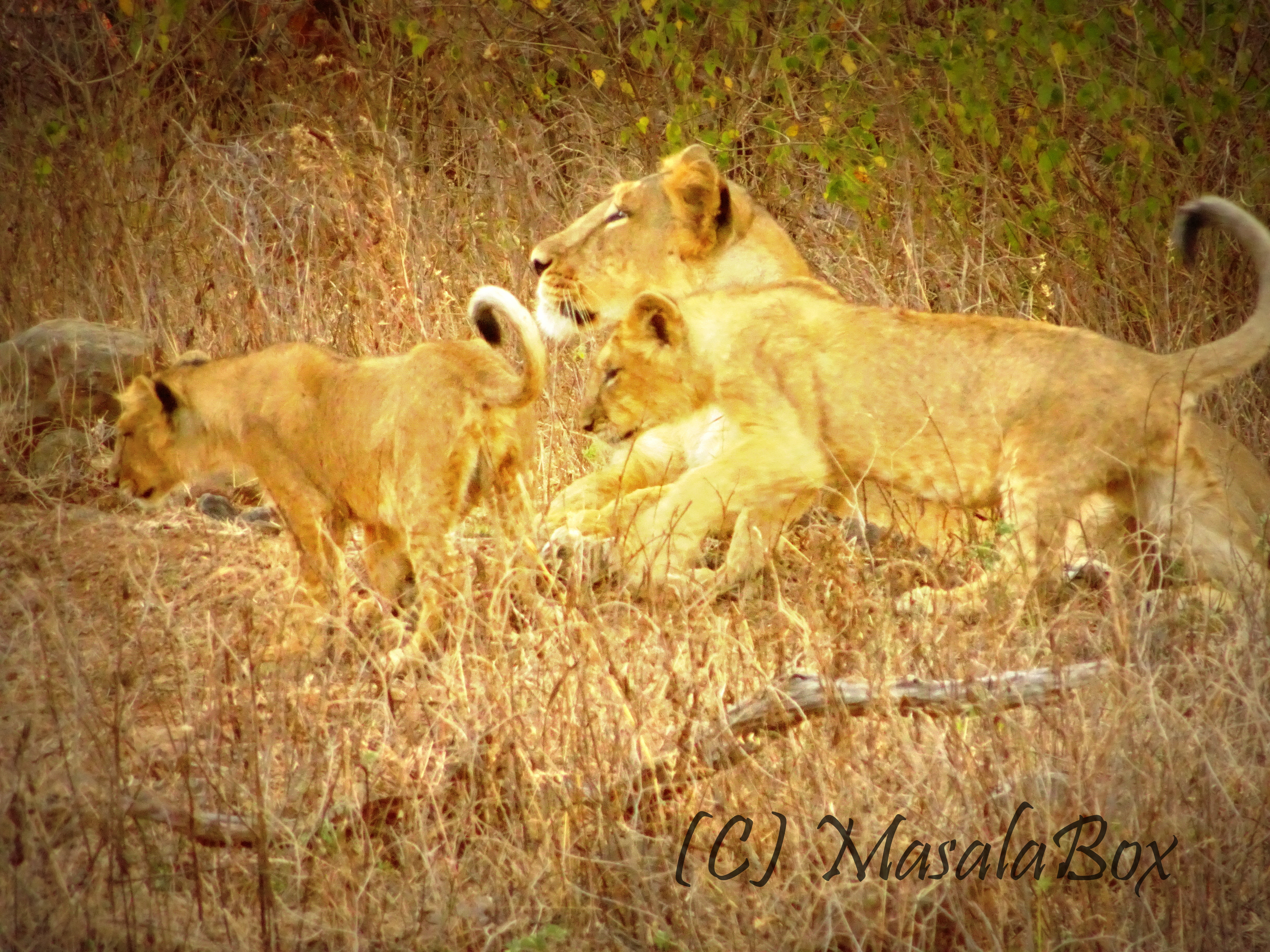 The Asiatic Lions of Sasan Gir Forest