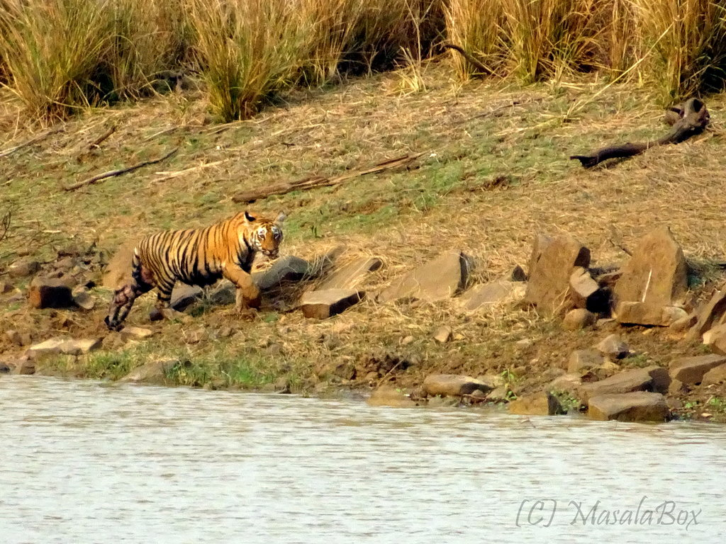 Tiger tales from Tadoba Andhari National Park