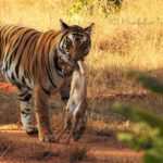 Tiger With Kill Bandhavgarh
