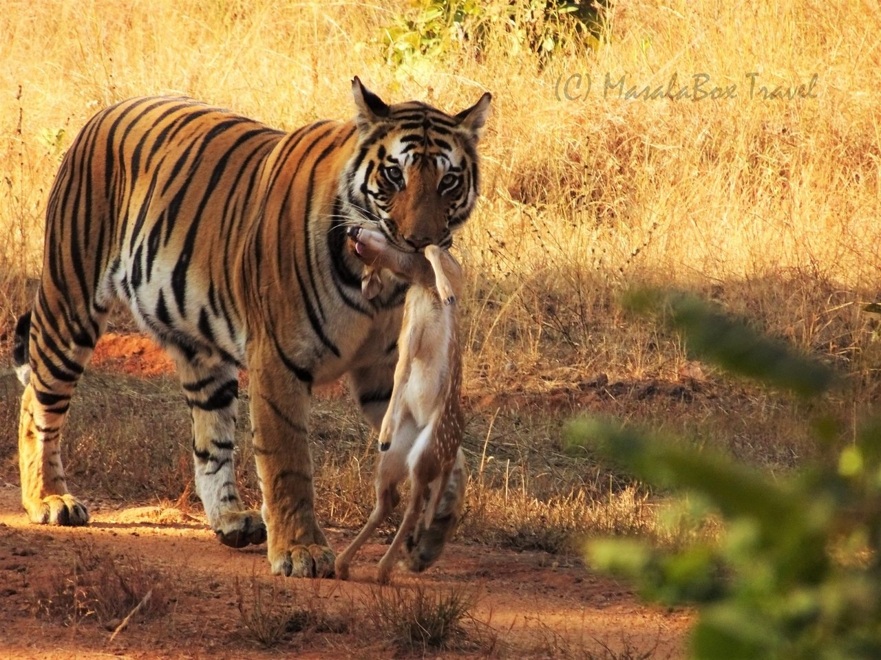Spotting Spotty – Bandhavgarh National Park