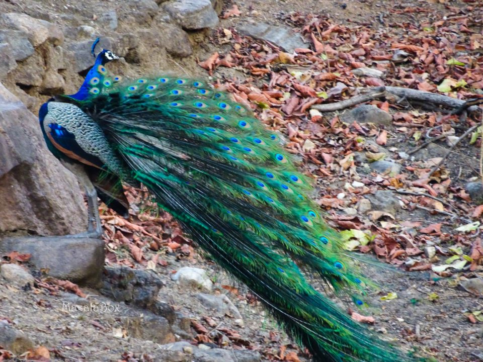 peacock Pench National Park