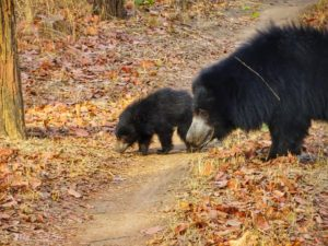 sloth bear Satpura National Park